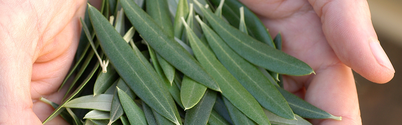 Banner-Olives in hand