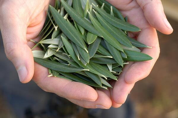 Olive Leaves in Hands