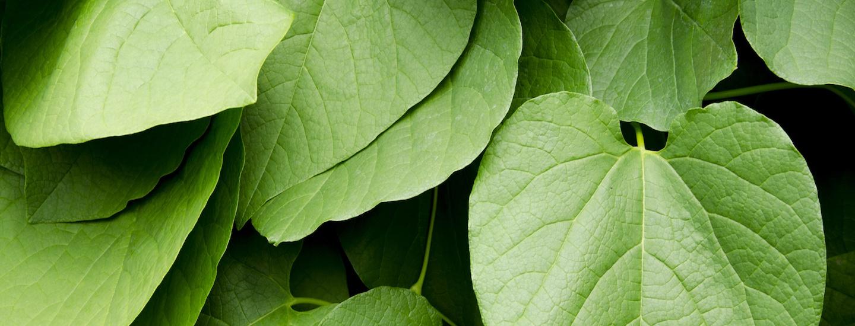 kava-leaves.jpg